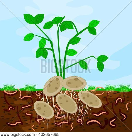 Ground Cutaway With Potatoes And Earthworm. Earthworms In Garden Soil. Composting Process With Organ