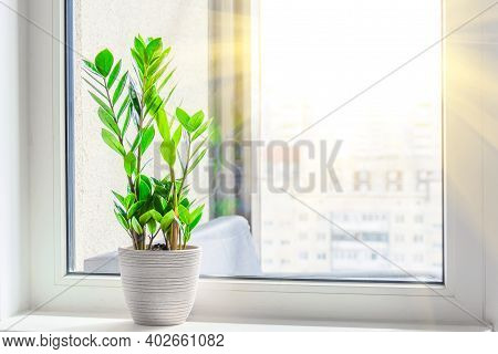Green Zamioculcas Plant On The Windowsill Bright Rays Of The Spring Sun Outside The Window Room, In