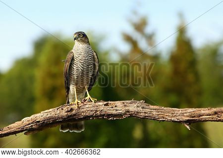 The Eurasian Sparrowhawk (accipiter Nisus) Sitting On The Old Brown Branch. Blue And Green Backgroun