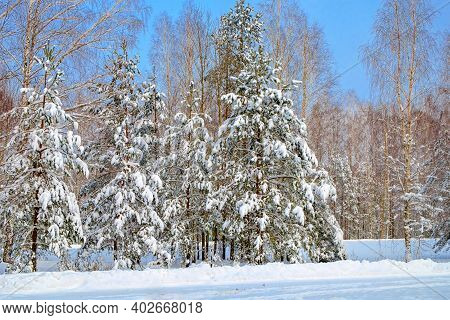 Beautiful Winter Forest. Winter Snowy Forest In The Clear Frosty Weather