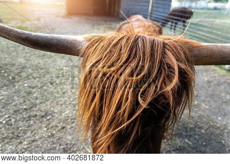 Close-up Detail Portrait Of Unique Long Hairy Scottish Highland Cow Grazing At Farmland Yard Field M