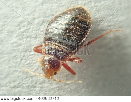 Bed Bug On A Light Background. Household Parasite. Close-up Photo.