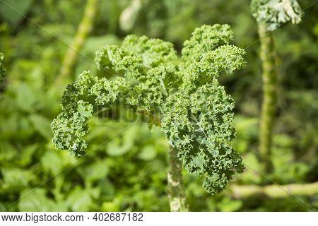 Green Leaves Of Curly Kale - Brassica Oleracea Var.