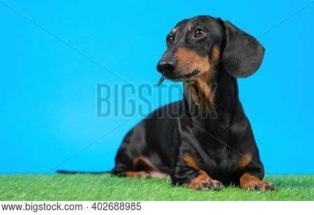 Cute Obedient Dachshund Dog Lies On Artificial Turf And Carefully Watching Something While Executing