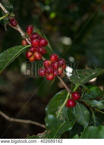 Closeup Of Ripe Red Coffea Arabica Arabian Coffee Plant Bean Berries Fruits Growing On Tree Farm Pla