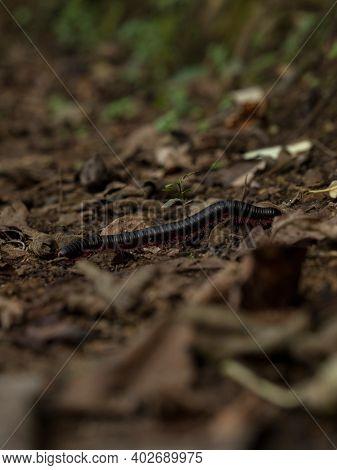 Closeup Macro Of Black Red Legged Millipede Arthropod Invertebrate Bug Insect Epibolus Pulchripes Ma