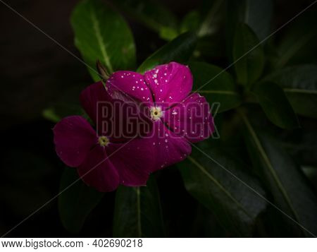 Closeup Macro Of Pink Purple Rose Catharanthus Roseus Flower Plant Periwinkle With White Dots On Pet