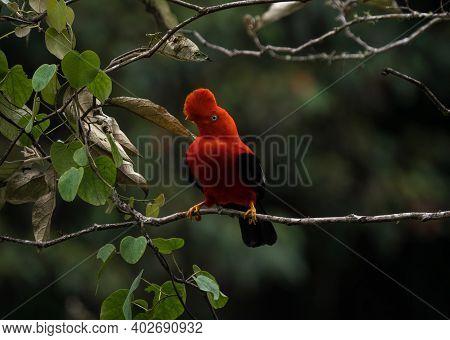 Male Andean Cock-of-the-rock Rupicola Peruvianus Tunki Passerine Bird Cotinga On Tree Branch Near Ma