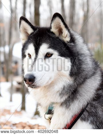 Young Malamute Looking Away On A Winter Day. Close Up