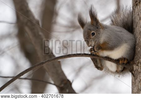 Close-up View Of Eurasian Red Squirrel Eating A Nut While Sitting On A Branch In The Winter Forest
