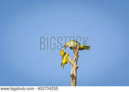Indian Golden Oriole Or Oriolus Kundoo Sharing Food Which Is Allofeeding Or Feeding Behavior Moment