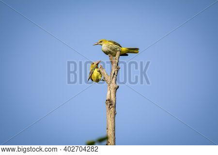 Indian Golden Oriole Or Oriolus Kundoo Perched During Migration At Forest Of Central India