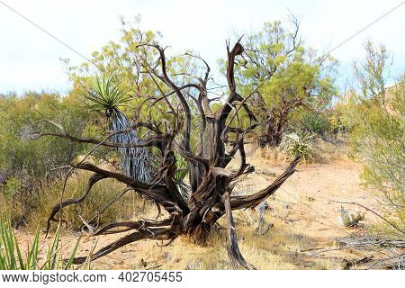 Burnt Plant Caused From A Past Wildfire Surrounded By Chaparral Shrubs Taken On The High Desert Plat