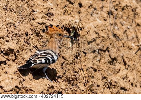 Eurasian Hoopoe Or Common Hoopoe Or Upupa Epops The Beautiful Brown Bird With Spiky Hair, Beautiful