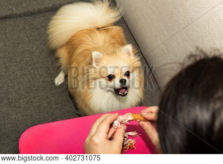 Pomeranian Asks For Food From The Owner. Feeding The Pomeranian. Dog Food. The Dog