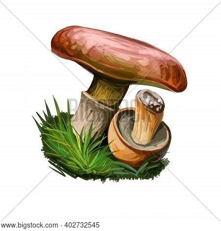 Suillus Viscidus Isolated Sticky Bolete. Edible Mushroom Closeup Digital Art Illustration. Boletus C