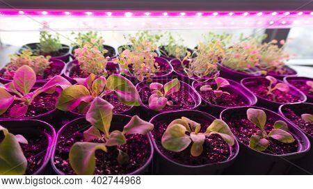 Growing Seedlings Of Petunia And Lobelia Under A Phytolamp. The Ultraviolet Light From The Full Spec