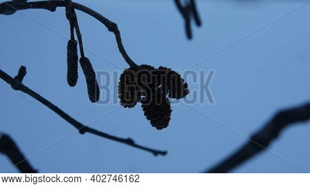 Alder Branch With Cones Against The Background Of The Evening Sky