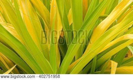 Variegated Green Yellow Foliage. Long Motley Green Yellow Tropical Plant Leaves In Garden. Natural T