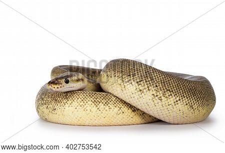 Adult Pinstripe Cinnamon Pastel Fire Ballpython Aka Python Regius Snake. Full Body Curled Up Shot On