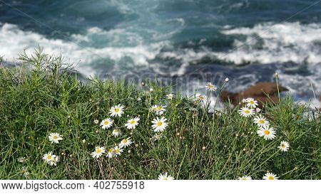 Simple White Oxeye Daisies In Green Grass Over Pacific Ocean Splashing Waves. Wildflowers On The Ste