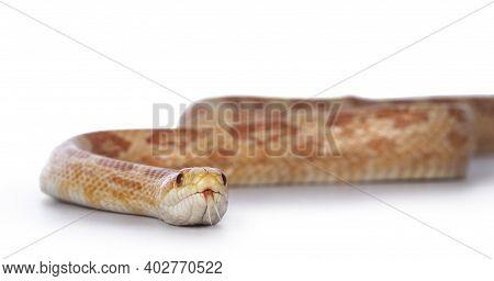 Adult Amel Cornsnake Aka Elaphe Guttataor Pantherophis Guttatus Snake. Detail Head Shot On White Bac
