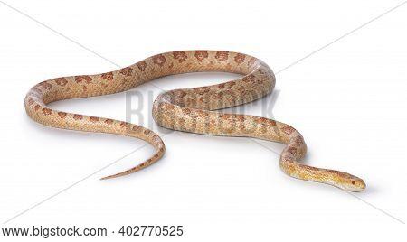 Adult Amel Cornsnake Aka Elaphe Guttataor Pantherophis Guttatus Snake. Full Body Shot On White Backg