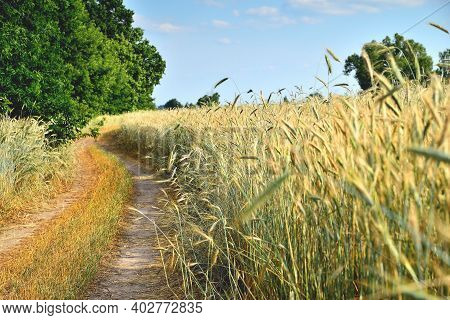 Wheat, Wheat Ears, Wheat Field On A Sunny Day, Dirt Road At The Edge Of The Field, Blur As A Creativ