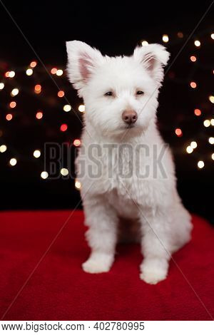A White, Fluffy Mixed Breed Dog On A Black Background With Lights Behind Him. The Dog Is Mainly Chih