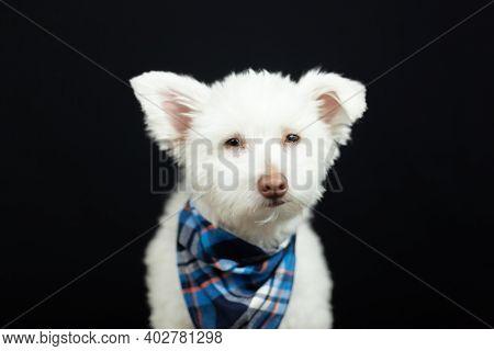 White Mix Breed Dog On Black Background