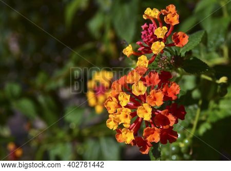 Lantana Camara Is A Species Of Flowering Plant Native To The American Tropics.selective Focus.