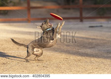 Grey Pitbull Playing Disc At The Park And Trying To Catch An Orange Disc