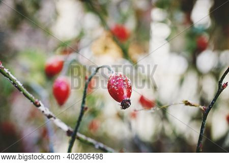 Iced Red Berries Of Wild Rosehip Covered With Snow. Winter, Hoar Frost. Close Up, Macro.