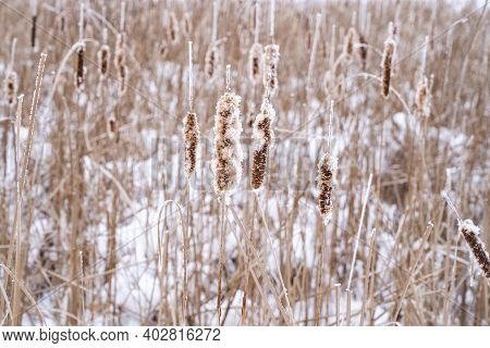 Cattails Covered In Rime Ice (similar To Hoar Frost) In Winter In Minnesota