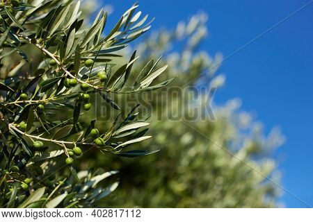 Closeup Of A Olive Branch With Leaves And Green Olives. Olive Tree Close Up In Greece, Corfu. Medite