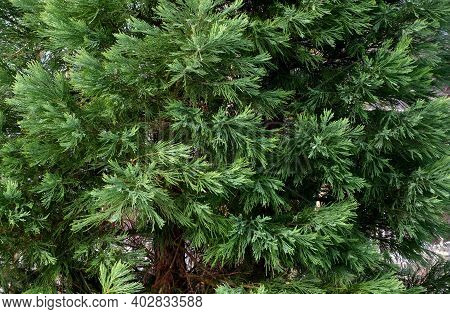 Dense Tree With Reddish Brown Bark. It Has Scaly, Green, Cross-needled Needles On The Trunks. During