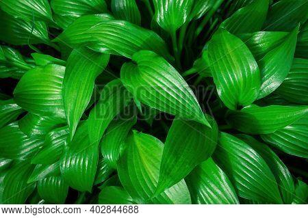 Green Leaves Of Hosta Lancifolia, Fresh Verdant Nature Background, Top View
