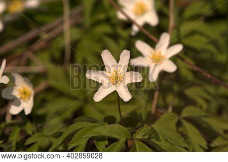 Anemone Nemorosa, Wood Anemone. Blooming White Flowers