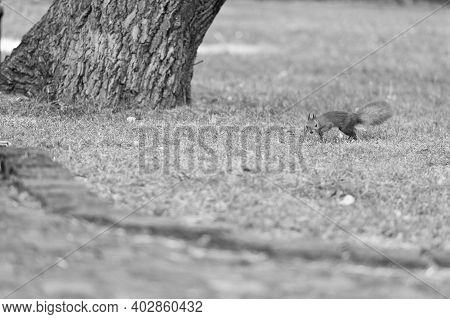Protect And Preserve. Red Squirrel In Natural Park. Small Tailed Rodent On Green Grass. Cute Fluffy