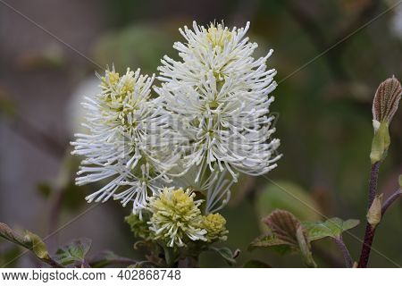 Large Witch Alder, Fothergilla Major, Flowers In Close Up With Some Opening Leaves And A Blurred Bac