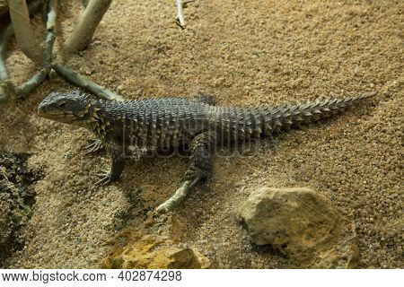Sungazer, Giant Girdled Lizard Or Giant Dragon Lizard Or Giant Zonure (smaug Giganteus, Syn. Cordylu