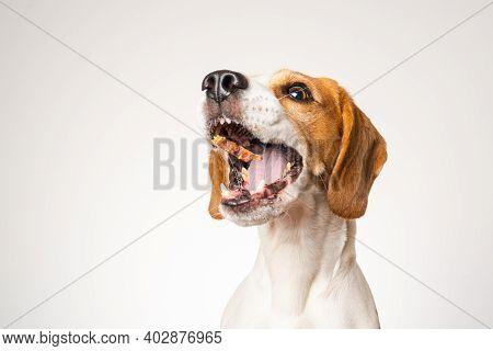 Beagle Dog Portrait Isolated On White Background. Studio Shoot