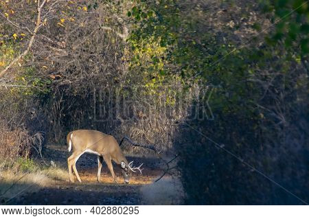Whitetail Deer Buck In The Open On A Nature Trail.