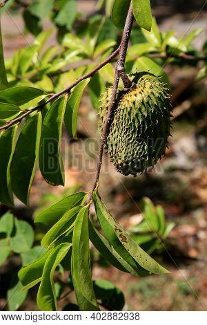 Soursop Fruit In Garden