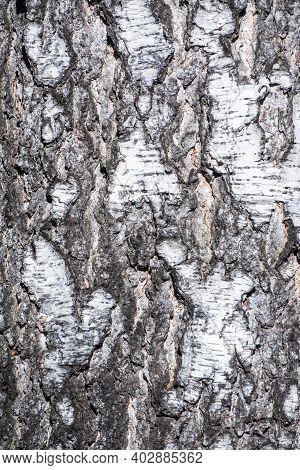 Birch Bark Texture. The Texture Of The Birch Bark. Birch Bark Background. Birch Tree Trunk, Betula P