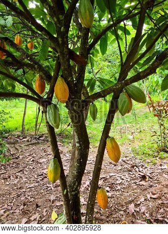 Cocoa fruit hanging on the tree
