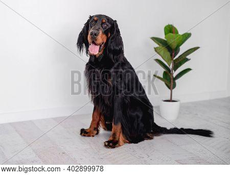 Gordon setter dog sitting at home