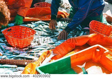 Fishermen Sort The Fish Catch. Fishing Industry . Catch Of Ocean Sardine