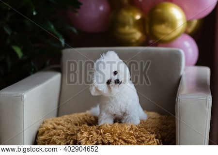 Adorable White Bichon Frise Dog Sitting On Chair At Home. Room Interior Decorated Birthday Balloons.