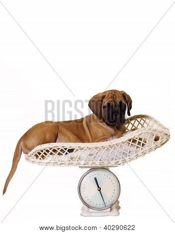 Isolated English Mastiff puppy lying down on Vet weight scales. poster